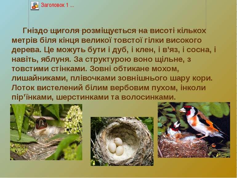 Гніздо щиголя розміщується на висоті кількох метрів біля кінця великої товсто...