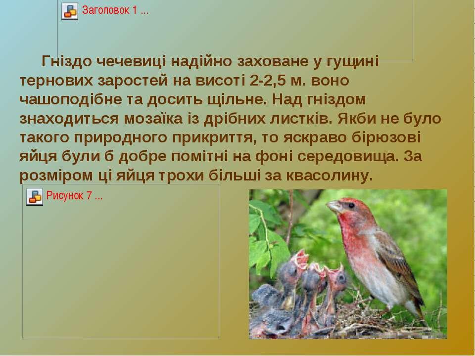 Гніздо чечевиці надійно заховане у гущині тернових заростей на висоті 2-2,5 м...