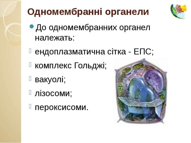 До одномембранних органел належать: ендоплазматична сітка - ЕПС; комплекс Гол...