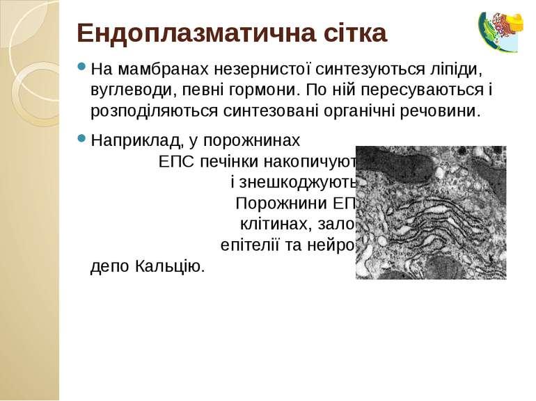 На мамбранах незернистої синтезуються ліпіди, вуглеводи, певні гормони. По ні...