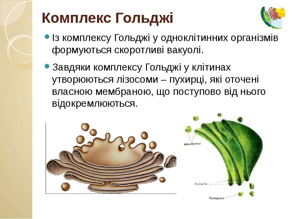 Із комплексу Гольджі у одноклітинних організмів формуються скоротливі вакуолі...