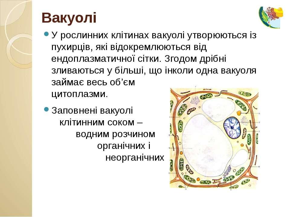 У рослинних клітинах вакуолі утворюються із пухирців, які відокремлюються від...