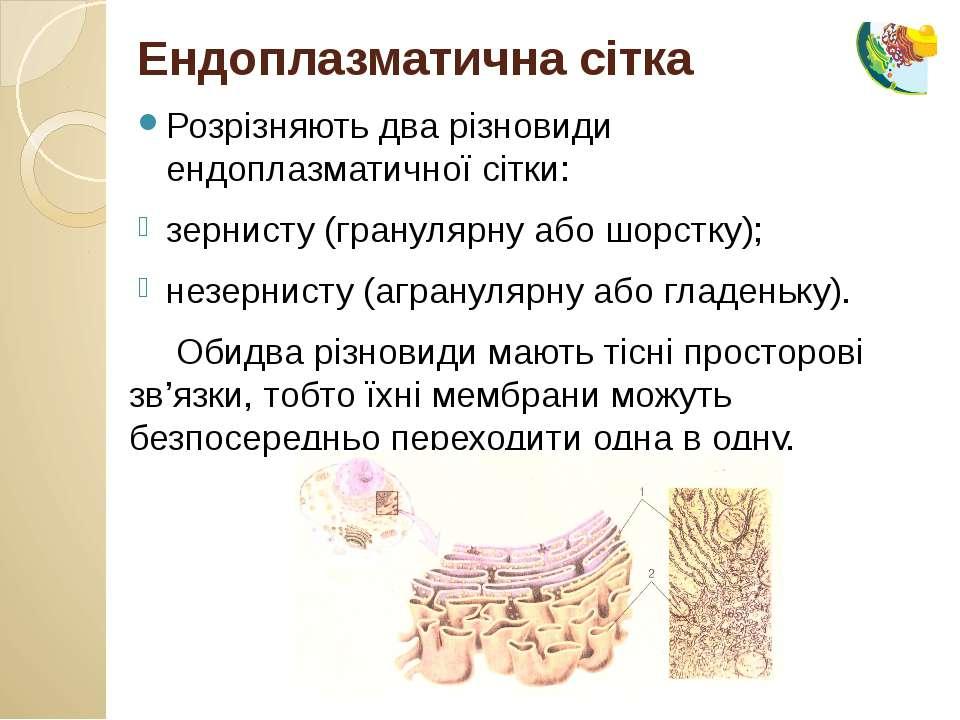 Розрізняють два різновиди ендоплазматичної сітки: зернисту (гранулярну або шо...