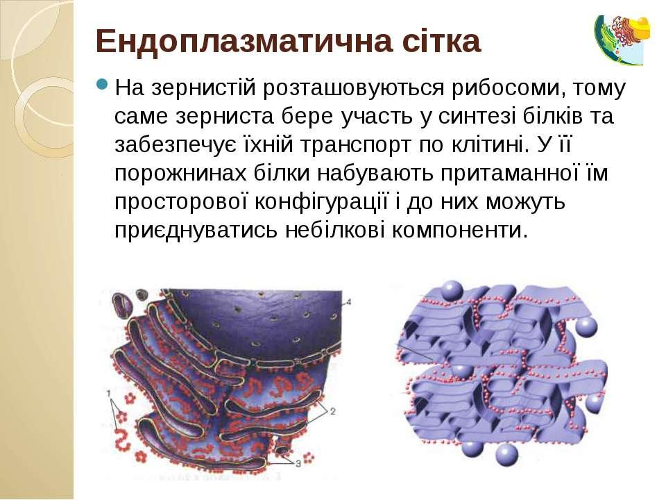 На зернистій розташовуються рибосоми, тому саме зерниста бере участь у синтез...