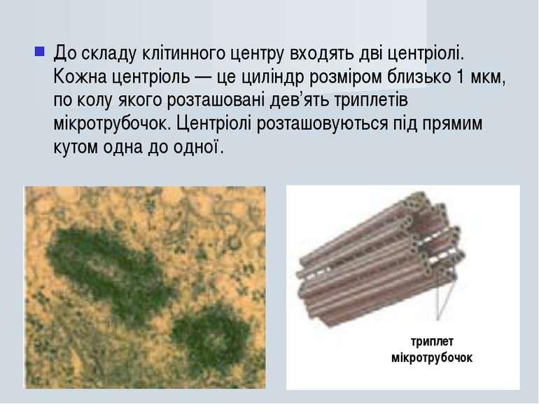 До складу клітинного центру входять дві центріолі. Кожна центріоль — це цилін...