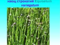 хвощ строкатий Equisetum variegatum