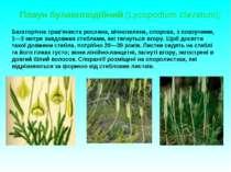 Плаун булавоподібний (Lycopodium clavatum); Багаторічна трав'яниста рослина, ...