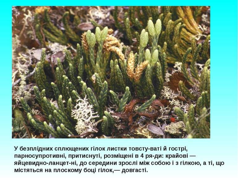 У безплідних сплющених гілок листки товсту ваті й гострі, парносупротивні, пр...