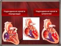 Надходження крові в шлуночки Надходження крові в передсердя