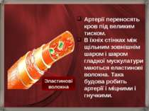 Артерії переносять кров під великим тиском. В їхніх стінках між щільним зовні...