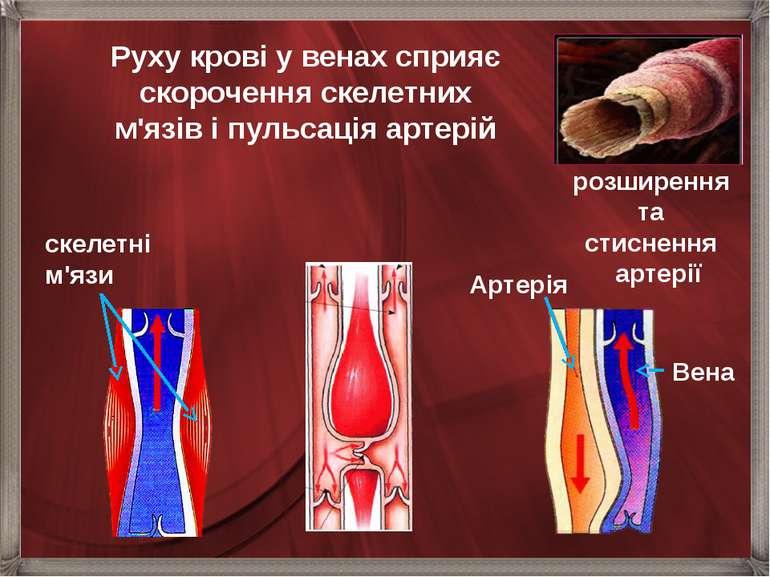 розширення та стиснення  артерії Руху крові у венах сприяє скорочення скелет...