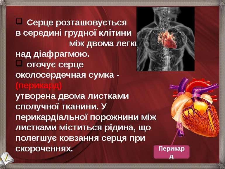 Серце розташовується в середині грудної клітини між двома легкими над діафраг...
