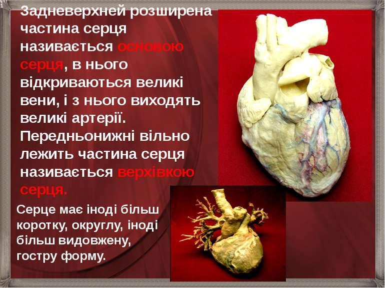 Задневерхней розширена частина серця називається основою серця, в нього відкр...