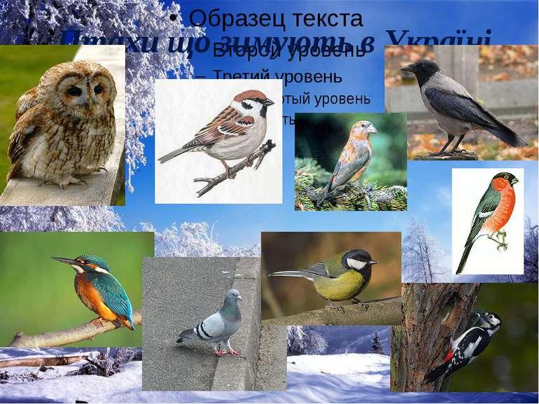 Птахи що зимують в Україні