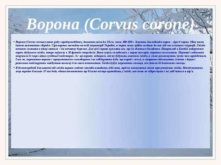 Ворона(Corvus corone) Ворона(Corvus corone)птах ряду горобцеподібних, довж...