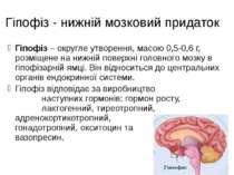 Гіпофіз - нижній мозковий придаток Гіпофіз – округле утворення, масою 0,5-0,6...