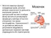 Мозочок Мозочок виконує функції координації рухів, регулює м'язові скорочення...