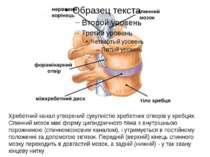 Хребетний канал утворений сукупністю хребетних отворів у хребцях. Спинний моз...