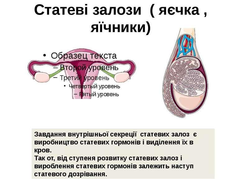 Статеві залози ( яєчка , яїчники) Завдання внутрішньої секреції статевих зало...