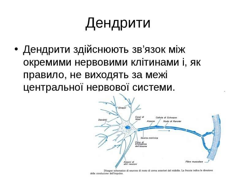 Дендрити Дендрити здійснюють зв'язок між окремими нервовими клітинами і, як п...