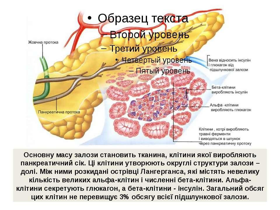 Основну масу залози становить тканина, клітини якої виробляють панкреатичний ...