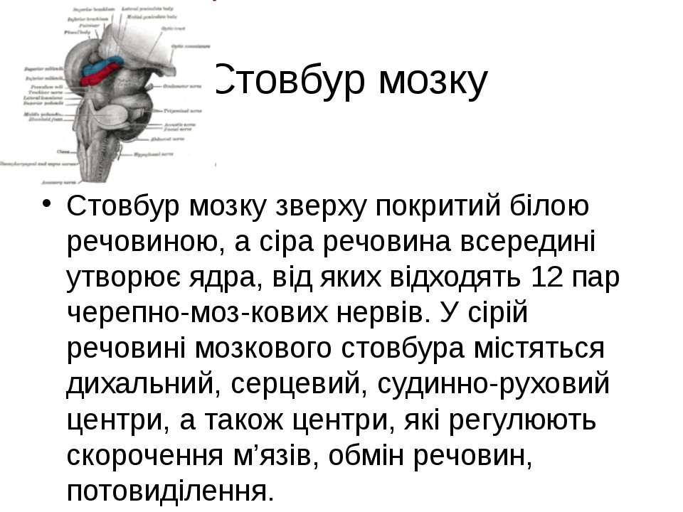 Стовбур мозку Стовбур мозку зверху покритий білою речовиною, а сіра речовина ...