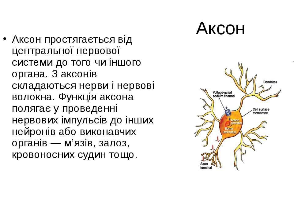 Аксон Аксон простягається від центральної нервової системи до того чи іншого ...
