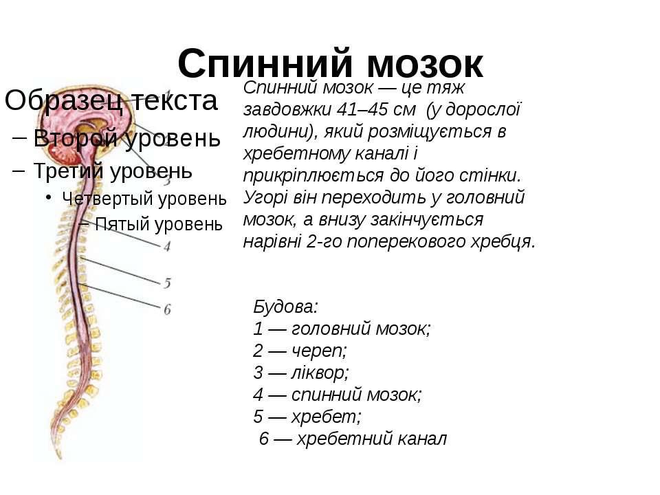 Спинний мозок Спинний мозок — це тяж завдовжки 41–45 см (у дорослої людини), ...