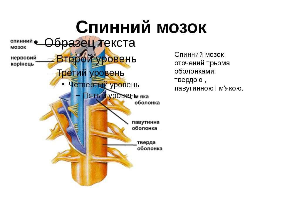 Спинний мозок Спинний мозок оточений трьома оболонками: твердою , павутинною ...