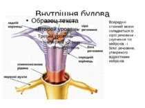 Внутрішня будова Всередині спинний мозок складається із сірої речовини - скуп...