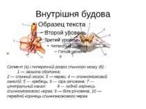 Внутрішня будова Сегмент (а) і поперечний розріз спинного мозку (б) : 1 — зах...