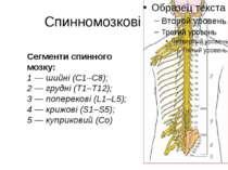 Спинномозкові нерви Сегменти спинного мозку: 1 — шийні (С1–С8); 2 — грудні (Т...