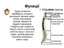Грудні сегменти приймають сигнали і регулюють функції шкіри, м'язів і внутріш...