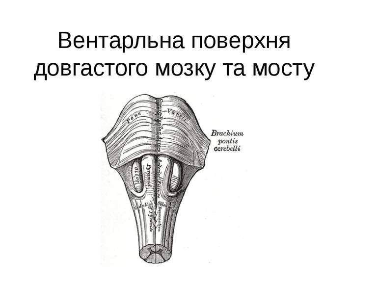 Вентарльна поверхня довгастого мозку тамосту