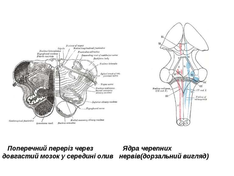 Поперечний переріз через довгастий мозок у середині олив Ядра черепних нервів...