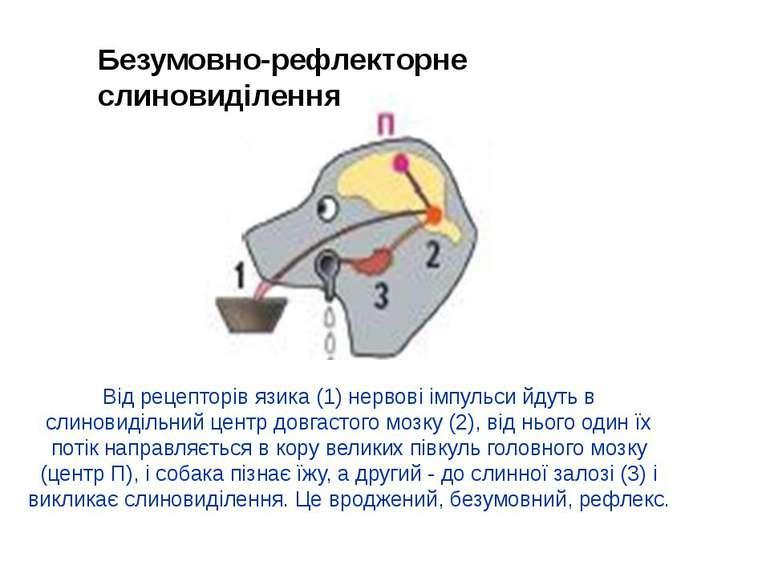 Від рецепторів язика (1) нервові імпульси йдуть в слиновидільний центр довгас...
