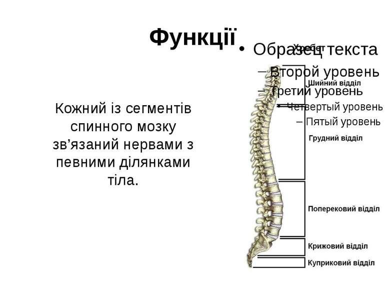Кожний із сегментів спинного мозку зв'язаний нервами з певними ділянками тіла...