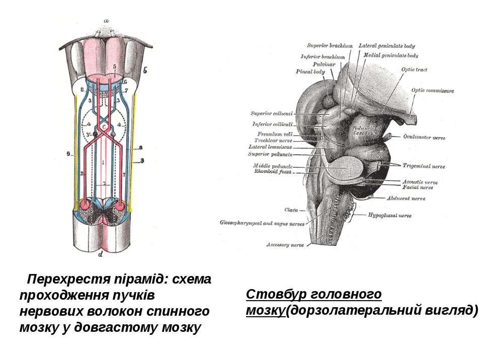 Перехрестя пірамід: схема проходження пучків нервових волокон спинного мозку ...