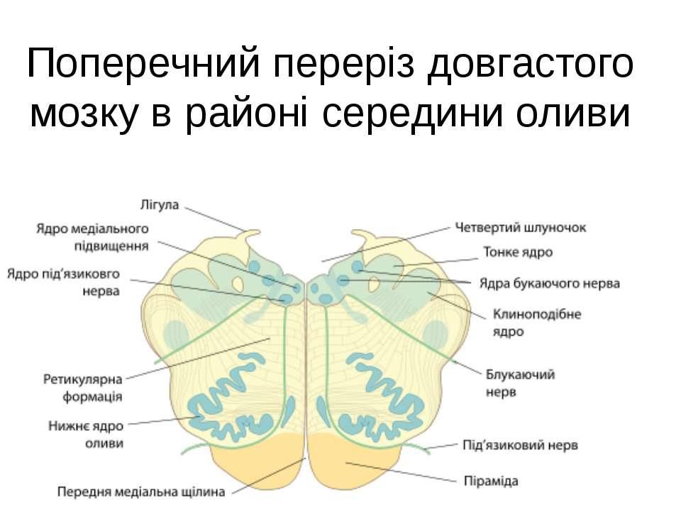 Поперечний переріз довгастого мозку в районі середини оливи