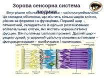 Зорова сенсорна система людини Внутрішня оболонка – сітківка – світлосприймал...