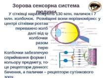 Зорова сенсорна система людини У сітківці нараховують 130 млн. паличок і 7 мл...