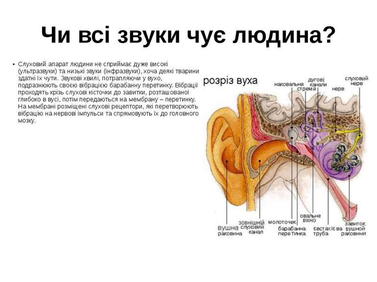 Чи всі звуки чує людина? Слуховий апарат людини не сприймає дуже високі (ульт...