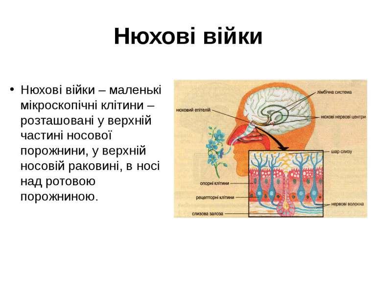 Нюхові війки Нюхові війки – маленькі мікроскопічні клітини – розташовані у ве...