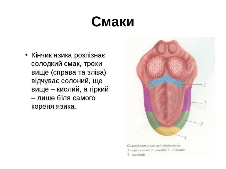 Смаки Кінчик язика розпізнає солодкий смак, трохи вище (справа та зліва) відч...