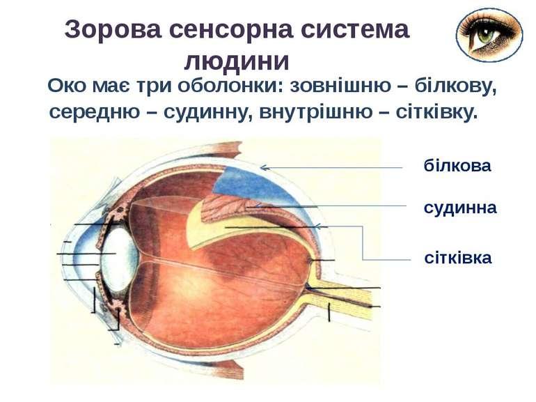 Око має три оболонки: зовнішню – білкову, середню – судинну, внутрішню – сітк...