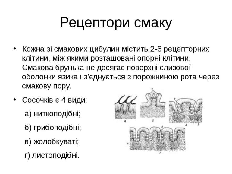 Рецептори смаку Кожна зі смакових цибулин містить 2-6 рецепторних клітини, мі...