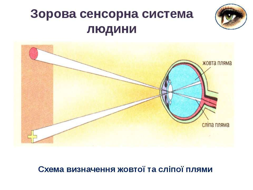 Зорова сенсорна система людини Схема визначення жовтої та сліпої плями