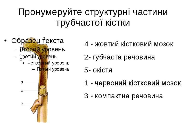 Пронумеруйте структурні частини трубчастої кістки 4 - жовтий кістковий мозок ...