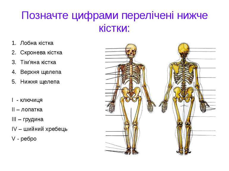 Позначте цифрами перелічені нижче кістки: Лобна кістка Скронева кістка Тім'ян...
