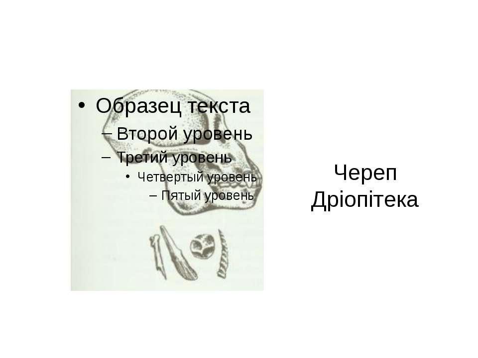 Череп Дріопітека